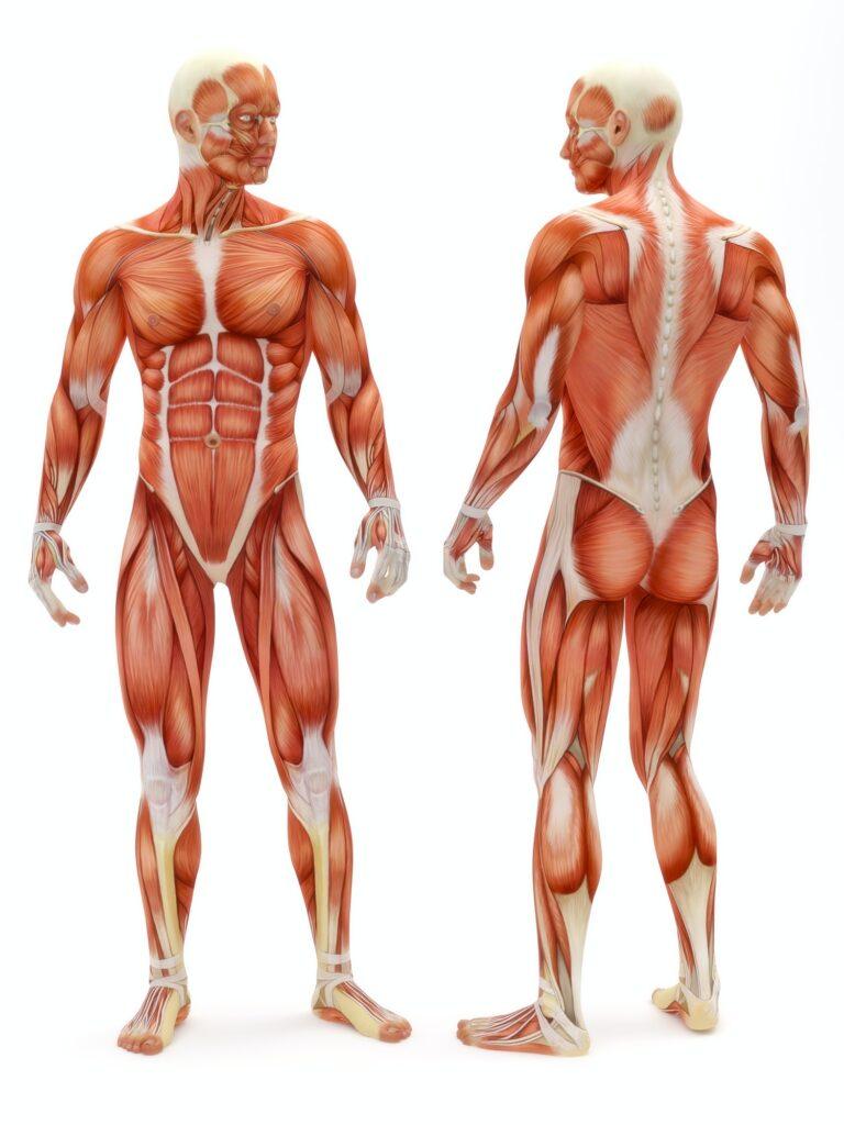 Male musculoskeletal